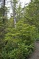 Western hemlock at the Wild Pacific Trail.jpg