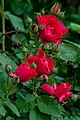 Wet Red Rose Blooms PLT-FL-RS-29.jpg