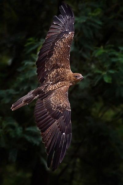 -عقاب-http://nexusgallery.mihanblog.com/-File:Whistling kite in flight edit 1.jpg