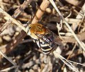 White-banded Digger Bee. Amegilla quadrifasciata, female (32827960481).jpg
