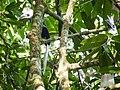 White-crowned Hornbill (15026271985).jpg