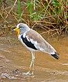 White-crowned Lapwing (Vanellus albiceps) (32571513914).jpg