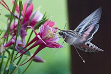 White-lined Sphinx and Columbine 04.jpg