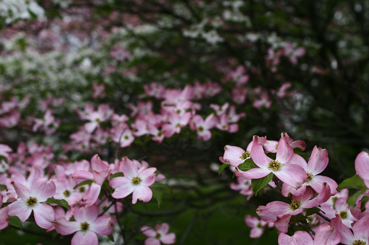 File White Pink Dogwood Tree West Virginia Forestwander