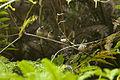 White-rumped Munia - Fraser's Hills - Malaysia MG 6467 (22569182688).jpg