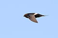 White-rumped swift, Apus caffer, at Suikerbosrand Nature Reserve, Gauteng, South Africa (23057155930).jpg