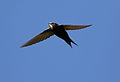 White-rumped swift, Apus caffer, at Suikerbosrand Nature Reserve, Gauteng, South Africa (23057182920).jpg