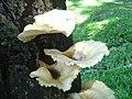 White Mushroom, Crepidotus applanatus (556022028).jpg