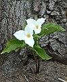 White Trillium Ontario.JPG