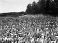 White Turkeys (Missouri State Archives) (8203219069).jpg