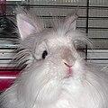 White lionhead rabbit.jpg
