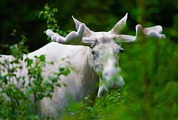 White moose.jpeg