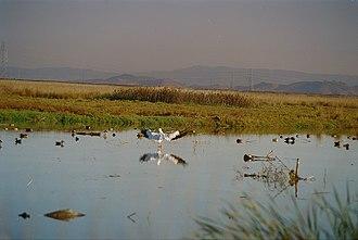Shoreline Park, Mountain View - Image: White pelican landing by San Francisco Bay