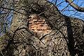 Wien-Penzing - Hütteldorf - Naturdenkmal 52 - Stieleiche (Quercus robur) IV.jpg