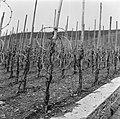 Wijnranken in de winter, Bestanddeelnr 254-4435.jpg