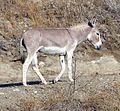 Wild Burros, San Timoteo Canyon 7-12 (7604960890).jpg
