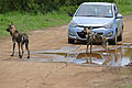 Wild Dogs (Lycaon pictus) entairtaining tourists (16580678161).jpg