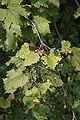 Wild Grapes.JPG