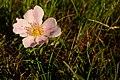 Wild Prairie Rose (5541466125).jpg