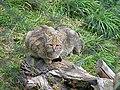Wildkatze 002.jpg
