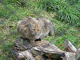 Fauna of Scotland - Wild cat (Felis silvestris)