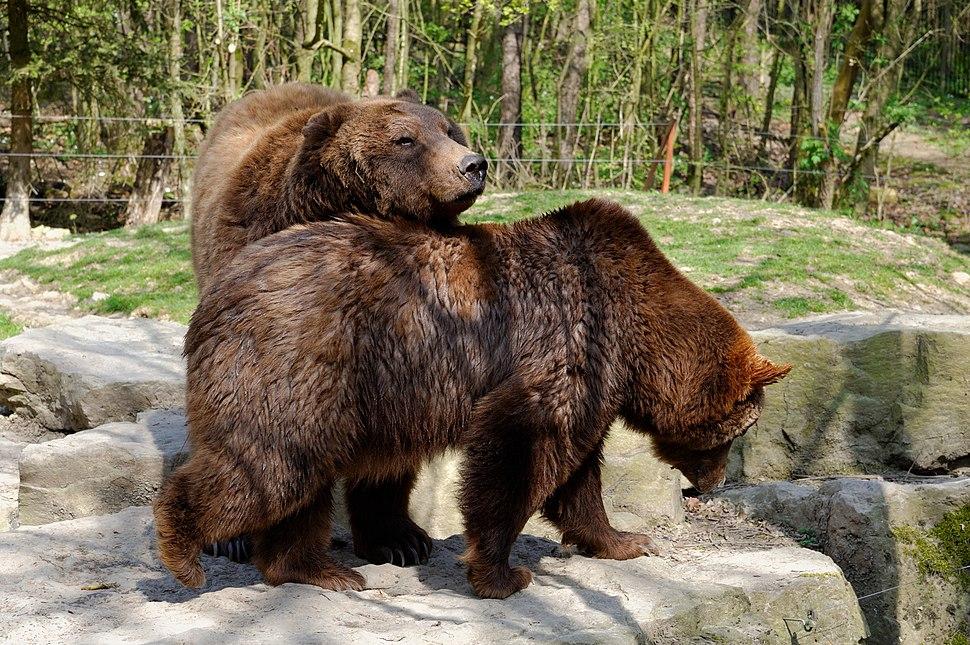 Wildpark Bad Mergentheim. Braunbären