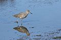 Willet, Tringa semipalmata, Moss Landing and Monterey area, California, USA. (30919419275).jpg