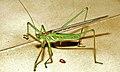 Winged Predatory Katydid (Clonia wahlbergi) male (6607371433).jpg