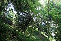 Wisteria sinensis kz3.jpg