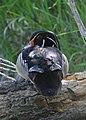 Wood Duck (10998194314).jpg