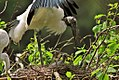 Wood stork shading a chick (14383324524).jpg
