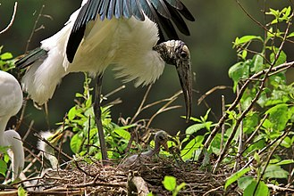 Wood stork - A wood stork shading its young