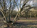 Woodlands north of Monken Hadley Common bridle path 06.jpg