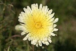 Woolly dandelion (Malacothrix floccifera).jpg