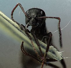 Worker Formica cinerea head.jpg