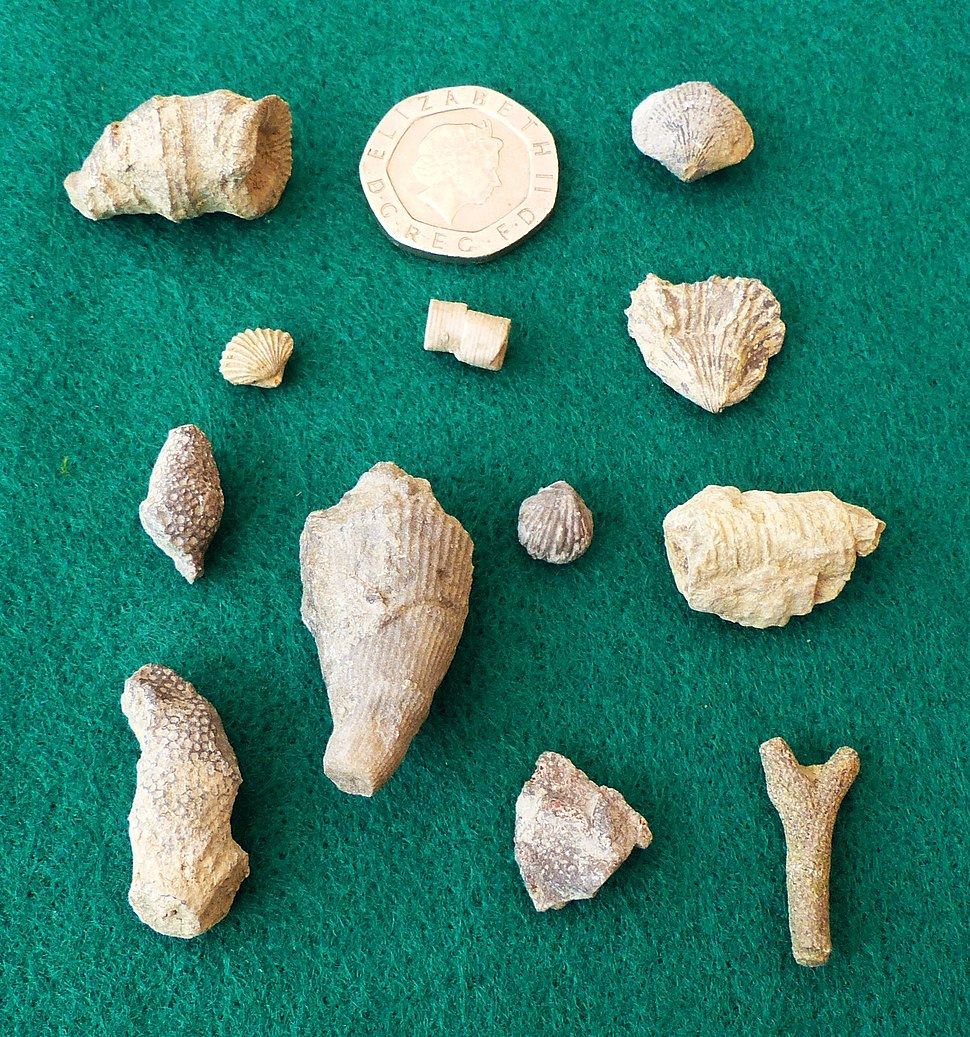 Wrens Nest Fossils 2