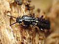 Wrinkled Bark Beetle (29371637292).jpg