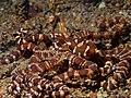 Wunderpus photogenicus (14393357375).jpg