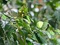 Xanthophyllum flavescens 136220413.jpg