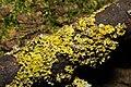 Xanthoria parietina 99517614.jpg