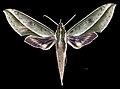 Xylophanes amadis MHNT CUT 2010 0 252 French Guyana Female dorsal.jpg