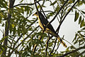 Yellow-billed Cuckoo - Carara - Costa Rica MG 9337 (26697330795).jpg