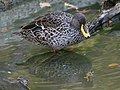 Yellow-billed Duck (Anas undulata) RWD1.jpg