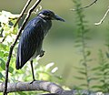 Yellow-crowned Night Heron (37631737932).jpg