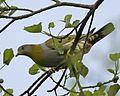Yellow-footed Green-Pigeon (Treron phoenicopterus) female-8.jpg