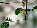 Yellow vented warbler Manas.JPG