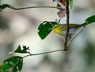 Yellow-vented warbler species of bird