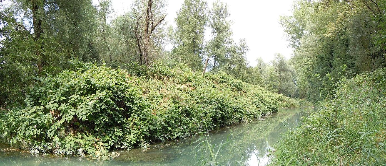 Yenne- Bord du Rhône:  Lône envahie par des Renouées du Japon, Znieff fu Haut-Rhône de la Chautagne aux chutes de Virignin . Savoie, France