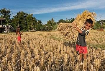 Young smiling boy carrying rice during the harvest in Si Phan Don, Laos.jpg
