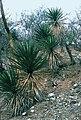Yucca capensis fh 0619 Baja California Sur B.jpg